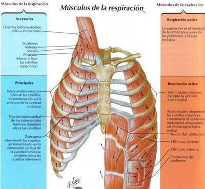 Músculos de la respiración - Ejercicios
