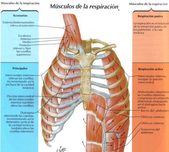 tenerifeOsteopata: El Diafragma - El mecanismo Respiratorio ...