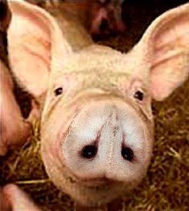 Pig Illusion