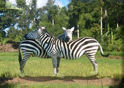 Where's The Third Zebra ?