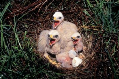 Ohio's Bald Eagles Begin Incubating Eggs