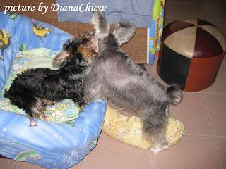 Miniature-Schnauzer Silky-Terrier
