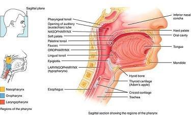 البلعوم pharynx