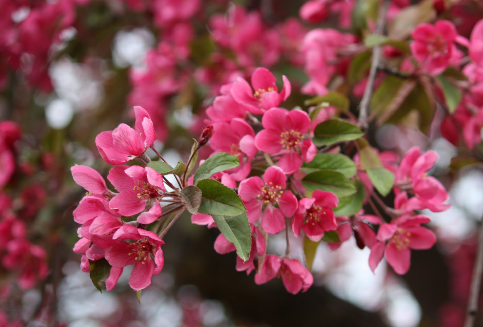 boise daily photo garden shot crab apple tree blossoms. Black Bedroom Furniture Sets. Home Design Ideas