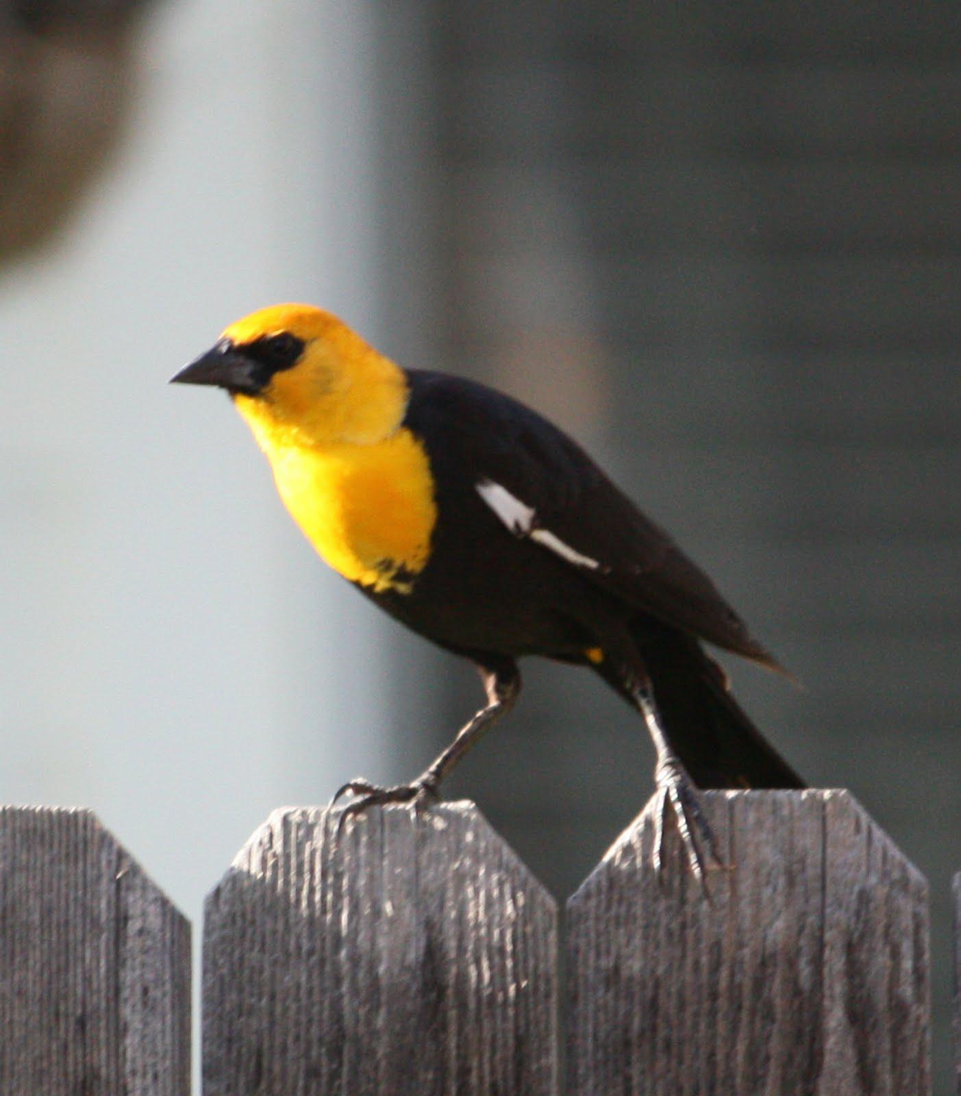 Yellow Headed Blackbird Boise Daily Photo Gard...