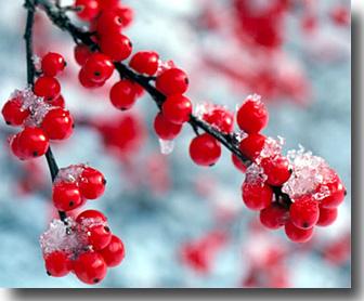 Bacche di estate cristalli di vaniglia piante for Piante invernali