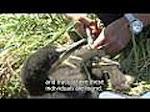 Documental El Cormoran moñudo en Asturias