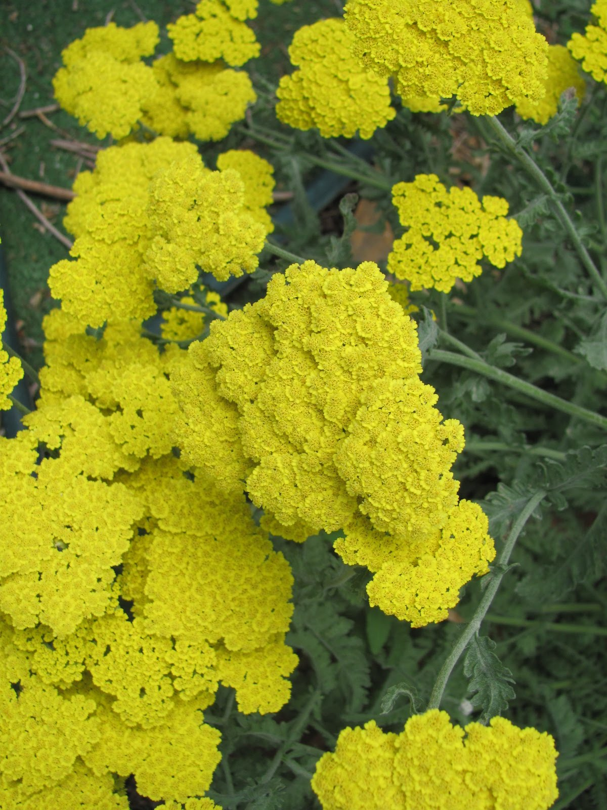 Yellow Yarrow Flower Closeup of yellow yarrowYellow Yarrow Flower