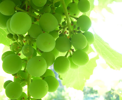 Grapes @ Sapo Bravo