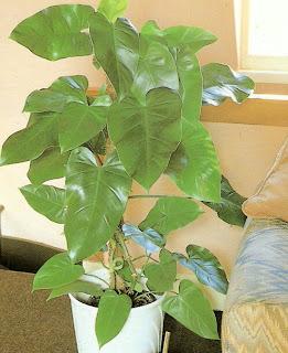 Mirian decor plantas e flores no feng shui for Planta filodendro