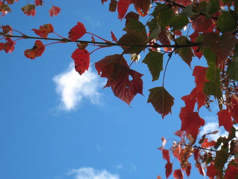 藍天與楓紅