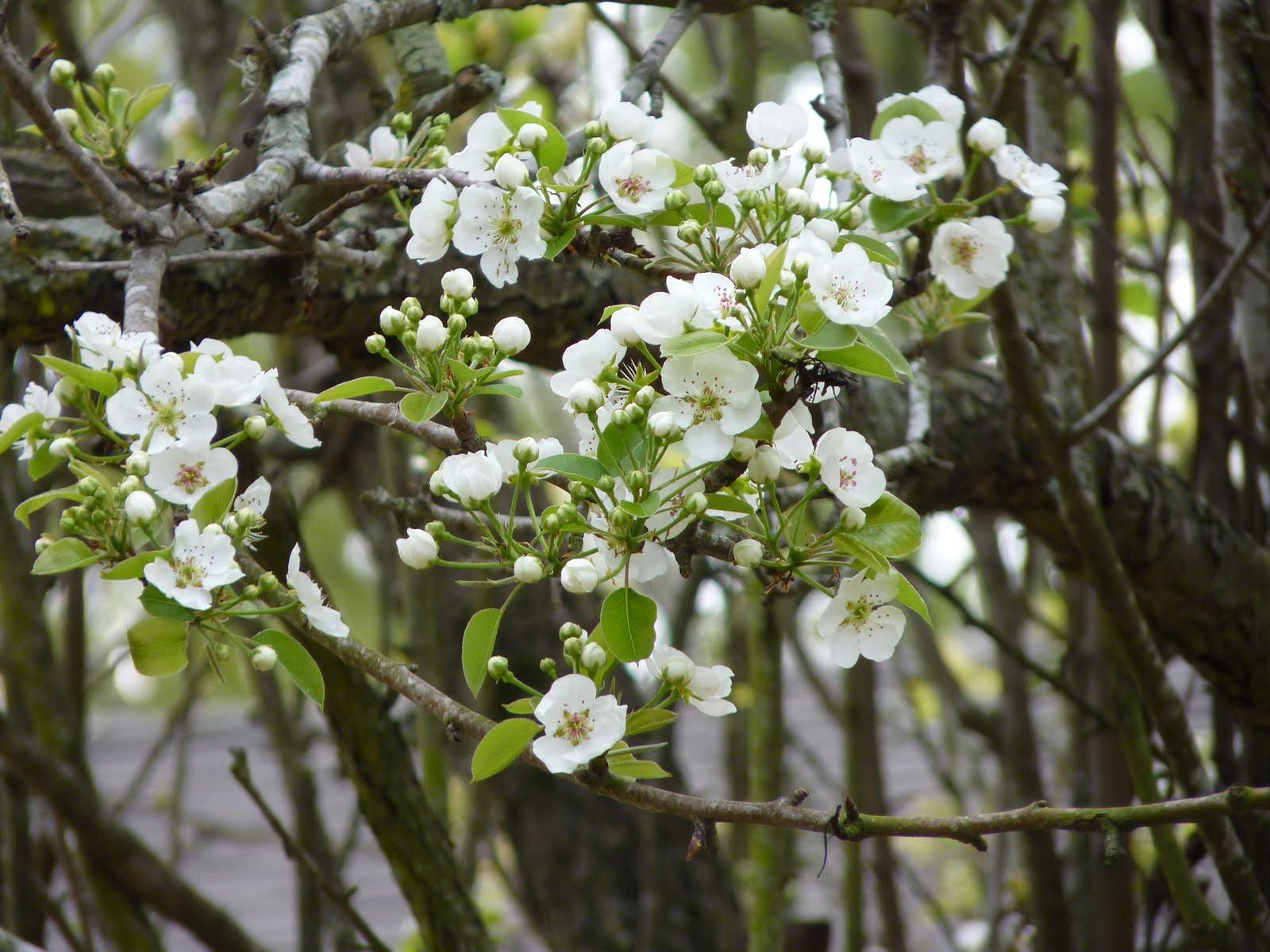 Houston Gardens Ornamental Pear Tree