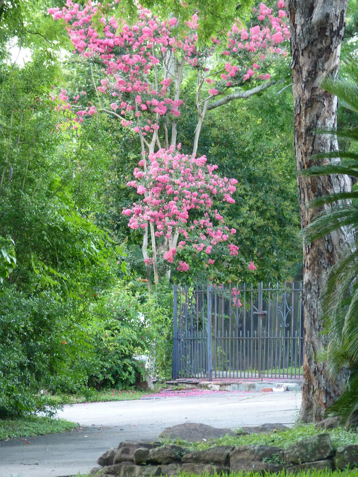 Houston Gardens: Crepe Myrtles Hanging Low with Heavy Blossoms