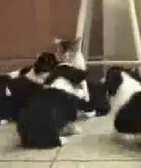 Video Lucu - Kucing Dikeroyok Anak Anjing