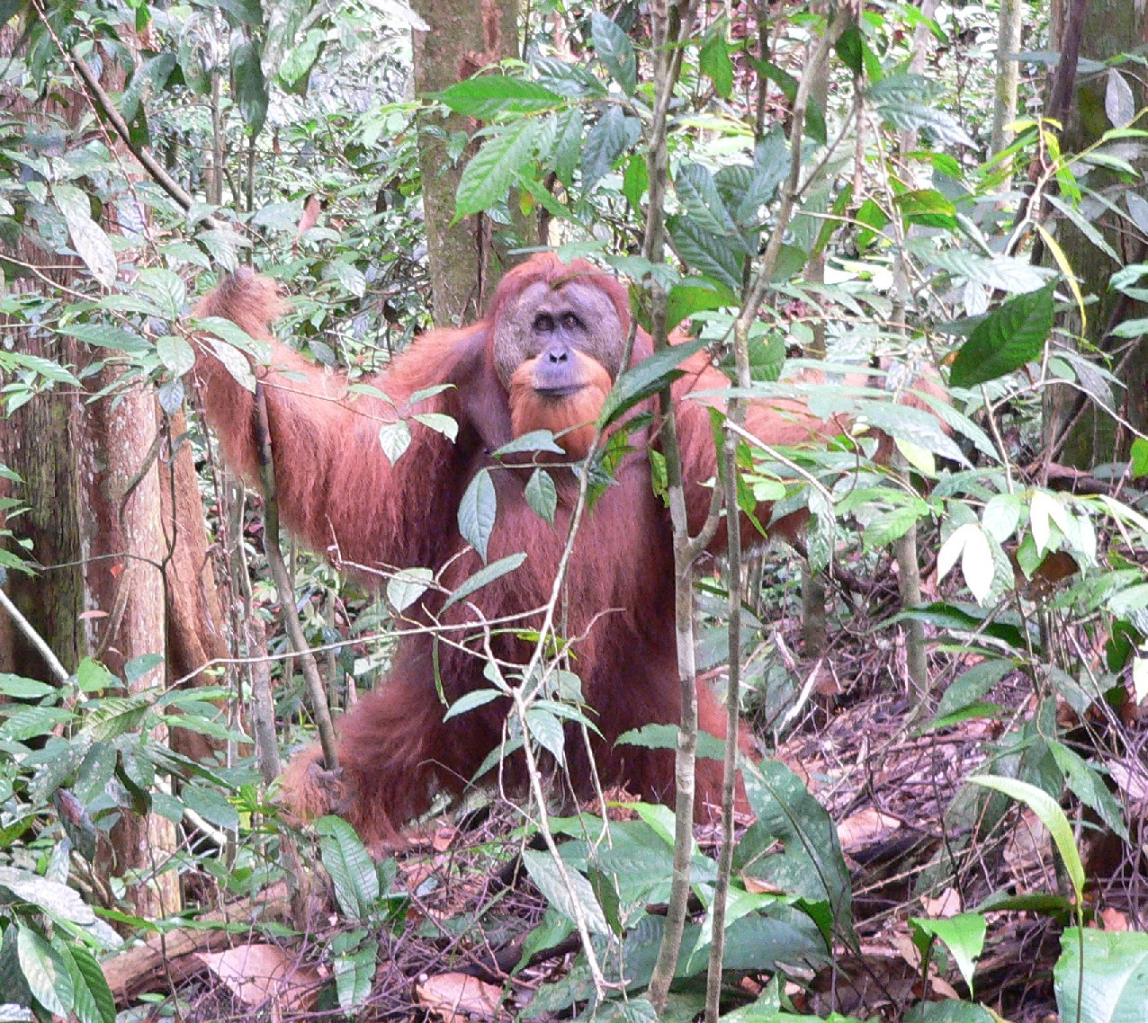 orangutan research paper We at socp are always looking for motivated researchers to come to indonesia and participate at one of our three long-term monitoring stations in the sumatran provinces of aceh an.
