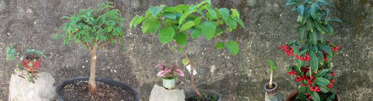 Caliandra branca/ Uva japonesa/ Ardízia