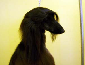 Afghan Hound, Dogs, Puppies