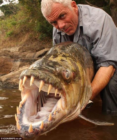 Ikan Gergasi Goliat