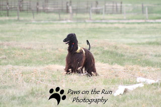 Afghans 5 Afghans – Lure Coursing