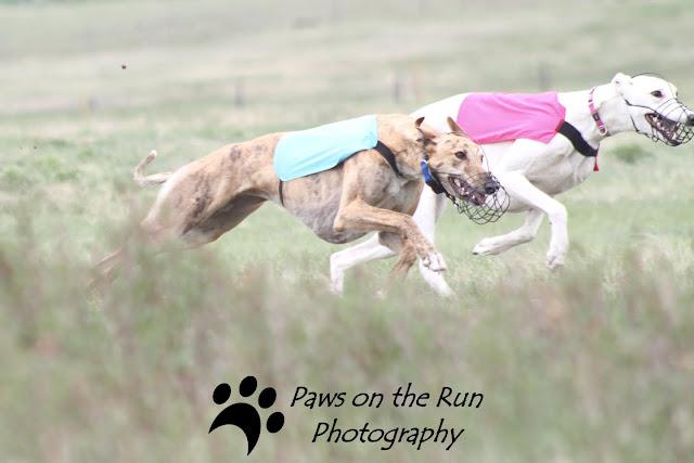 Greyhounds Greyhounds – Lure Coursing