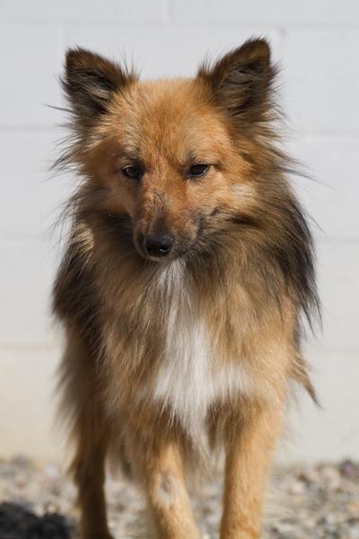 Sheltie 2 >Billy {Sheltie/Pomeranian Cross}   Adoption Pending