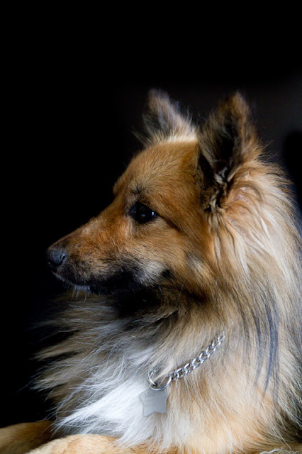 Billy >Billy {Shetland Sheepdog/Pomeranian Cross}   Adopted