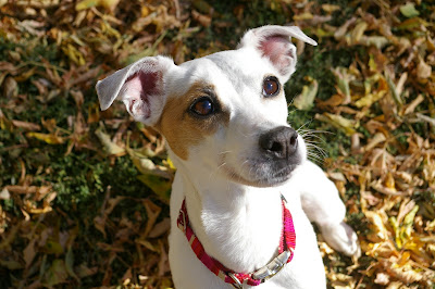 >Missy {Jack Russell Terrier} - ADOPTED
