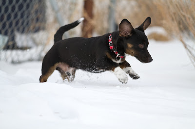 Chip 8 >Chip {Dachshund Cross}   ADOPTED