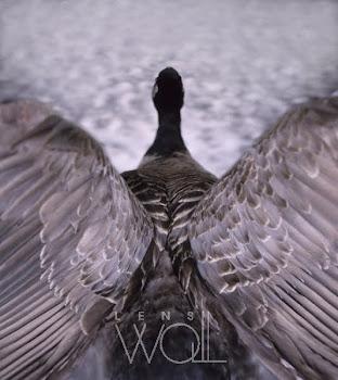 Canada Goose - Carl Warner