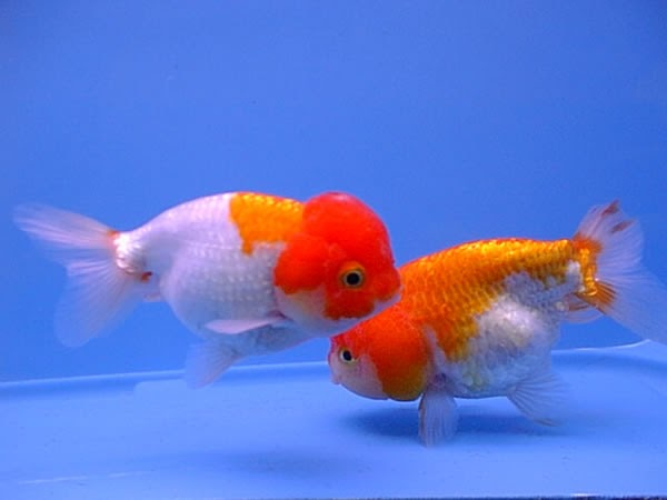 Goldfish peru manejo reproducci n guia b sica for Peces goldfish tipos