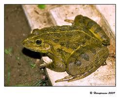 rana tigrina diagram frog