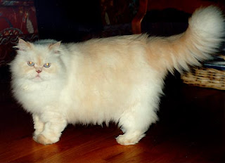 Persian Cat widescreen wallpaper