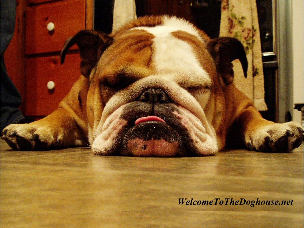 Puppy english bulldog wallpapers free animal wallpapers