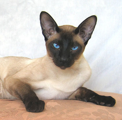 Best Siamese Cat Photos
