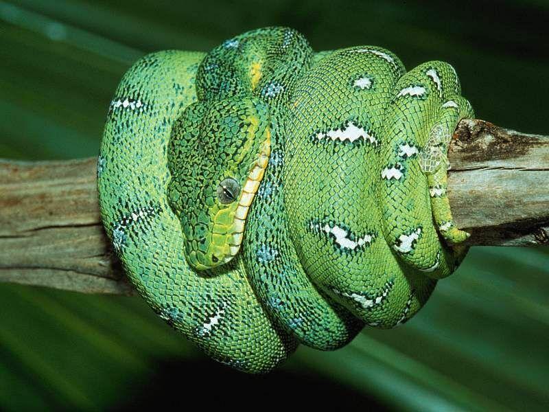 snake wallpapers. Snake wallpaper   Free Animal