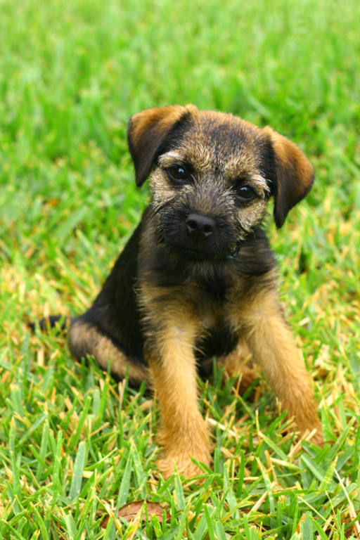Border Terrier Dog Puppies