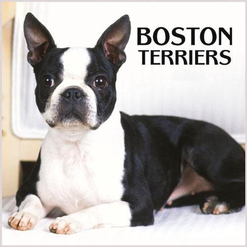 Boston Terrier Dog desktop wallpaper