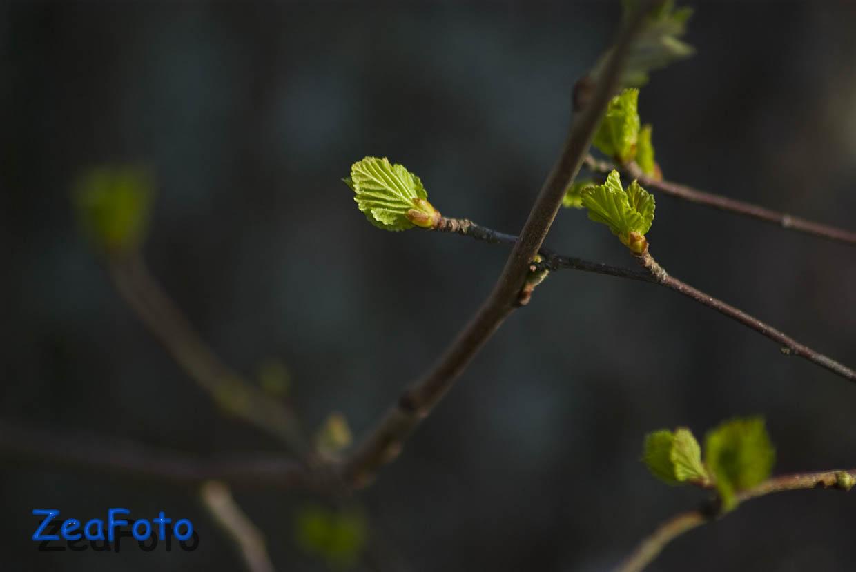 [Betula+Pubescens+04.jpg]