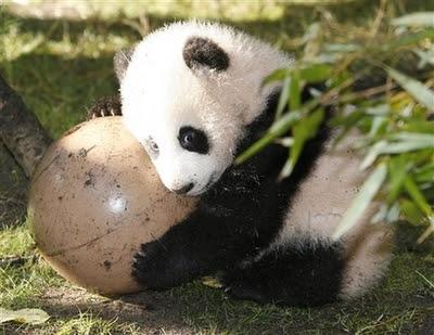 panda cup atr