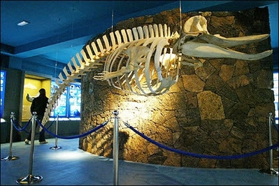 The skeleton of a whale hangs