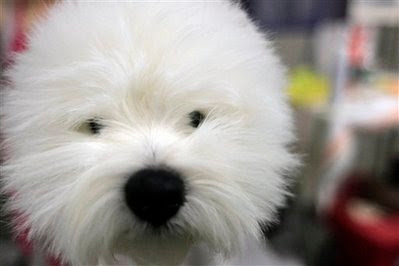 Pet: white Terrier