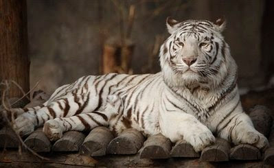 Animal: white tiger.