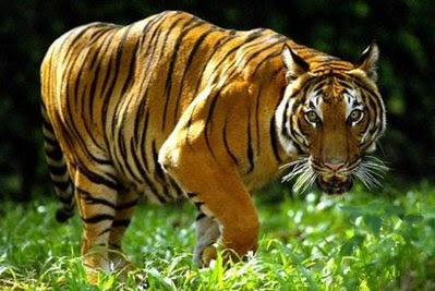Animal: An Indochinese tiger.