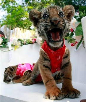 Animals: Two-month old tiger