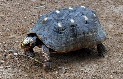 A tortoise that smokes