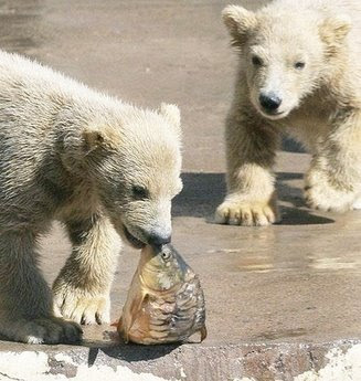 Canada's polar bear cub