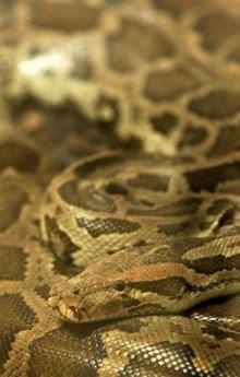 animals: python