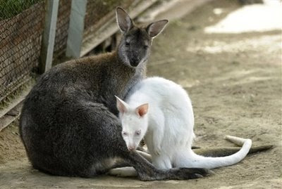 Animals and Pets: Albino kangaroo Milka