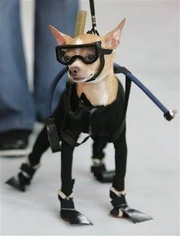 Chihuahua: Animals and Pets