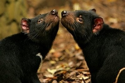 animals: Tasmanian devil.